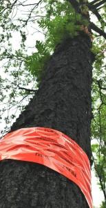 Baumfällaktion in der Nordstadt