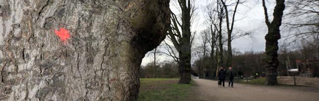 Im Fredenbaumpark müssen 150 Bäume gefällt werden