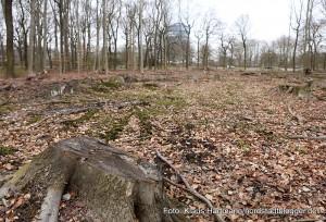 Buschwindröschenwanderung des Freundeskreis Fredenbaum