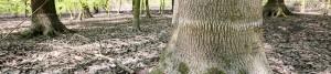 Überschwemmung in Brügmanns Hölzchen im Hoeschpark ist beseitigt. Der helle Streifen an den Bäumen zeigt wie hoch das Wasser gestanden hat