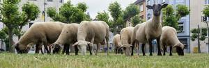 Kunstaktion: NOToperation, Schafe auf dem Borsigplatz von Frank Bölter