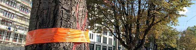 Baumfällungen am Wall gehen weiter: Weitere Rosskastanien in Dortmund sind von einer Krankheit befallen