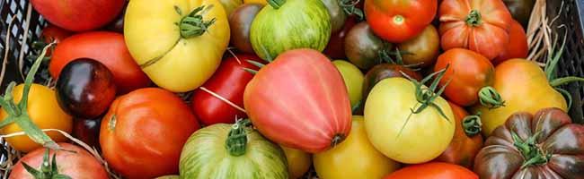 Neues Leben für alte Sorten in Dortmund:  Die Demeter-Tomaten aus Grevel erfreuen sich großer Beliebtheit