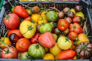 In Grevel werden alte Tomatensorten angebaut und verkauft.