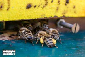 Die Pollensäcke (gelb) sind prall gefüllt.