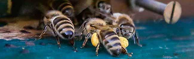 Imker aus Husen-Kurl flechten den Bienen ein Zuhause aus Champagnerroggen-Halmen: den Lüneburger Stülper