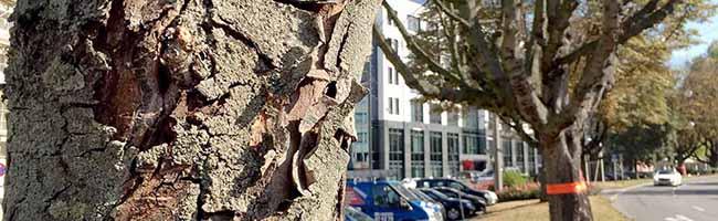 Krankheitsbefall: Kastanienfällung auf dem Wallring im Bereich Freistuhl bis Bornstraße und in der Kleppingstraße