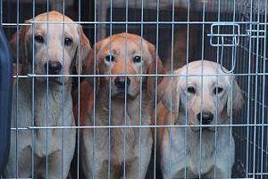 Sechs vernachlässigte Labradore warten auf ein neues Zuhause.