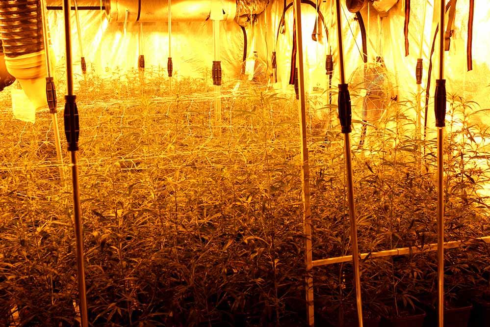 Mehrere hundert Cannabispflanzen entdeckten die Zivilfahnder in einem landwirtschaftlichen Gebäude. Foto: Polizei