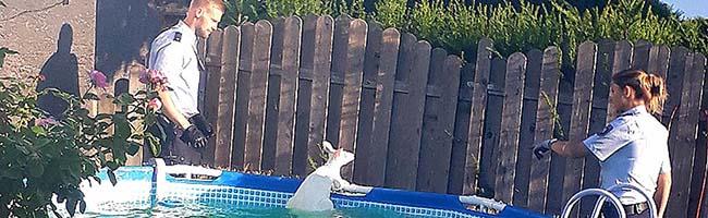 """Tierischer Polizeieinsatz in Brechten: Eine Ziege half einem Känguru bei der Flucht – """"Verfolgungsjagd"""" endete im Pool"""