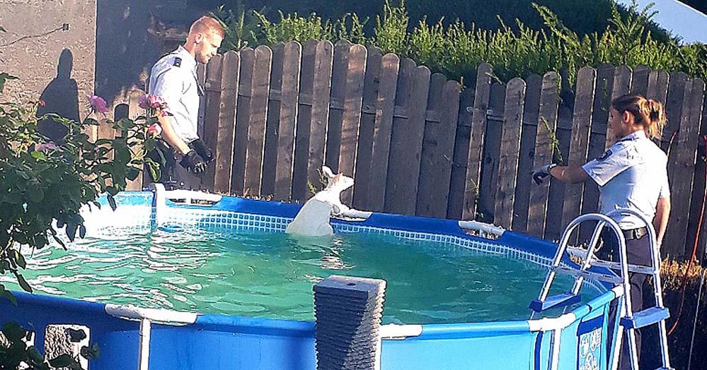 In einem Pool in einem Vorgarten in Brechten endete der Ausbruch des Kängurus. Foto: Polizei