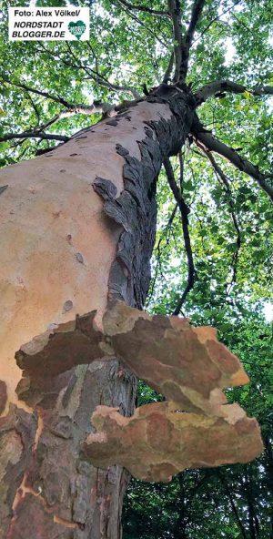 Die Hitzeschäden an Straßenbäumen werden immer offensichtlicher - u.a. an den Abplatzungen der Rinde.