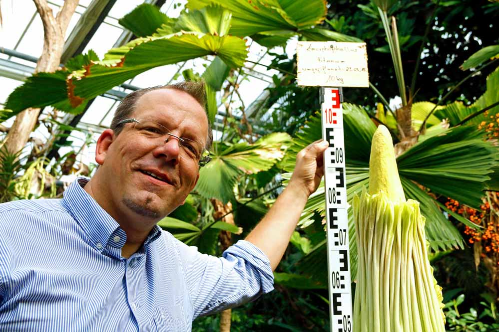 Dr. Patrick Knopf, Direktor Botanischer Garten Rombergpark, zeigt David, den Dortmunder Titanwurz.
