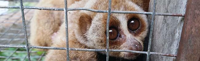 Plumploris-Verein im Zoo Dortmund ergreift Initiative gegen Wilderei, Missbrauch und artfremde Haltung der Primaten