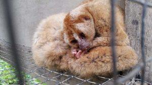 Plumploris in illegaler Haltung in Bukit Lawang (Nordsumatra). Die Tiere wurden etwa zwei Jahre lang gehalten.
