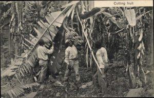Banenenernte in Mittelamerika (Ansichtskarte um 1910)