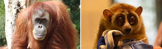 Affige Veranstaltung: Der Zoo Dortmund feiert am Sonntag den Orang-Utan- und Plumplori-Tagmit Toba und Helene