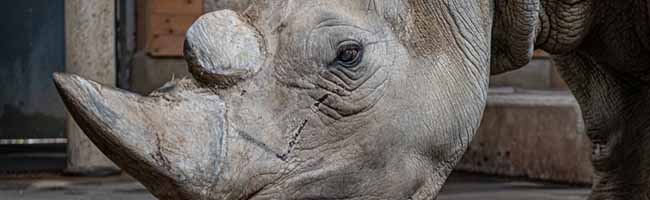 """""""Happy Birthday Natala"""": Das älteste Nashorn Deutschlands feiert ihren 50. Geburtstag im Zoo in Dortmund"""
