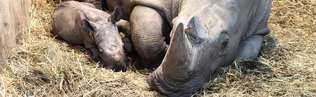 """Eine """"schwere Geburt"""" im Zoo Dortmund: Gesundes Nashorn-Baby hat zum Jahresbeginn das Licht der Welt erblickt"""