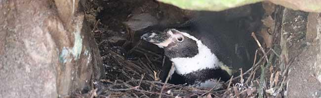 Hoffnung auf erfolgreiche Nachzucht: Humboldtpinguine brüten im ZooDortmund früher als erwartet