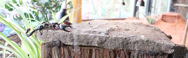 Neue Attraktion im Zoo Dortmund: Das Skorpionarium öffnet seine Pforten mit einer der größten Arten der Erde