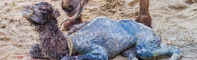 Nach Geburt vor aller Augen am Wochenende ist das Trampeltier-Fohlen im Zoo Dortmund überraschend gestorben