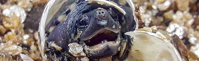 Ein echter Winzling: Dem Zoo in Dortmund gelingt erstmals Nachzucht einer Salvins Kreuzbrustschildkröte