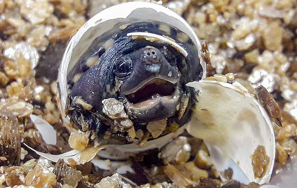 Eine junge Schildkröte beim Schlupf im Dortmunder Zoo. Fotos: Simone Karlowski