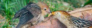Ein junger Guirakuckuck wird gefüttert.