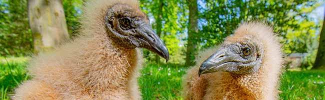 Wie aus dem Ei gepellt: Im Zoo Dortmund wurden zwei Rabengeier erfolgreich von Hand aufgezogen