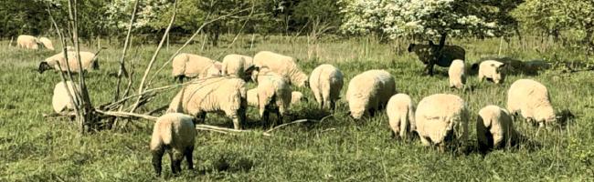 Grasen und Wässern im Dienste von Natur und Umwelt: Dortmunder Schafe mit vorbildlichem Engagement
