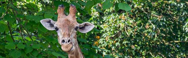 Giraffe Gambela musste im Zoo Dortmund eingeschläfert werden – 23 Jahre altes Tier litt unter massiven Schmerzen