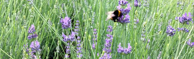 Viele Vorschläge für neue Wildblumenwiesen-Standorte – ein Lavendelfeld gibt es im Rombergpark zu bestaunen