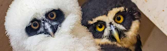 Tierischer Nachwuchs im Vogelpark: Dem Zoo in Dortmund gelingt erstmals die Nachzucht eines Brillenkauzes