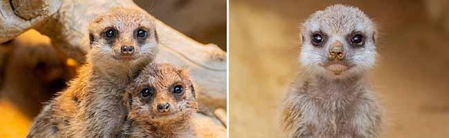 Ein Zoo-Besuch ist ab Mittwoch ohne Online-Reservierung möglich – Erdmännchen-Nachwuchs im Giraffenhaus
