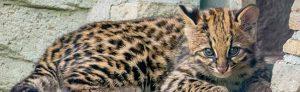 Das junge Oncilla auf der Außenanlage des Dortmunder Zoos. Fotos: Marcel Stawinoga