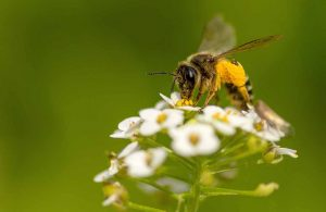 Wildbiene, hier eine Schenkelbiene Macropis fulvipes, beim Pollensammeln an den Blütenständen einer Radieschenpflanze im Garten.
