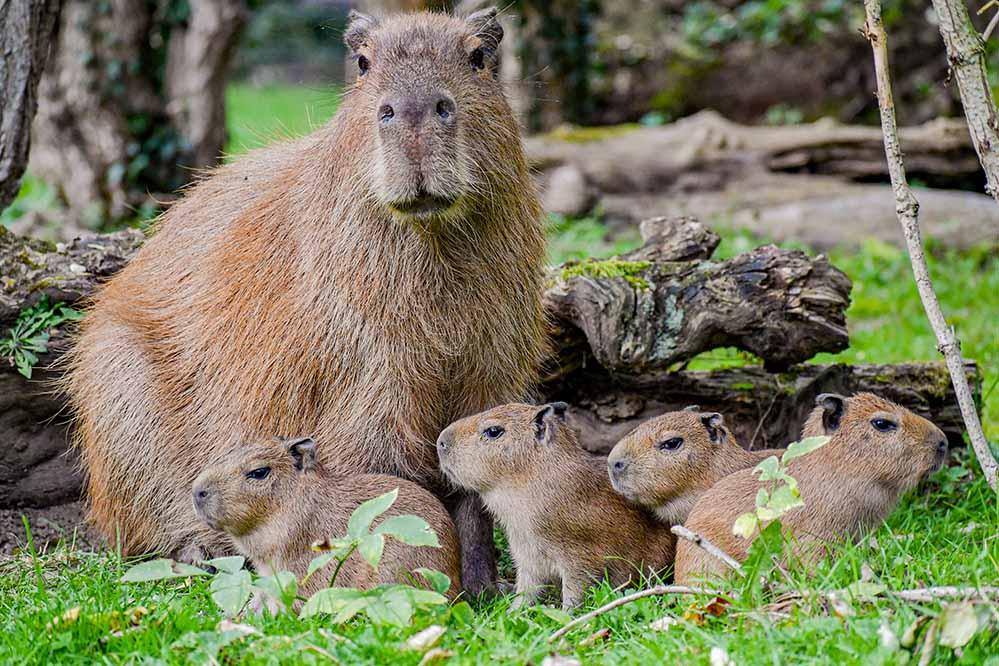 Die vier jungen Capybaras und ihre Mutter Daniela im Dortmunder Zoo.