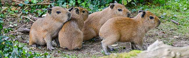 Munterer Nachwuchs im Zoo Dortmund: Vier Capybaras