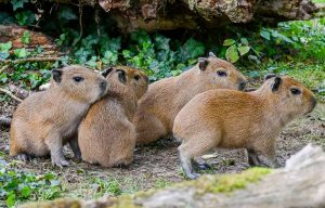 Die vier jungen Capybaras im Gestrüpp auf der Südamerika-Wiese im Zoo Dortmund.