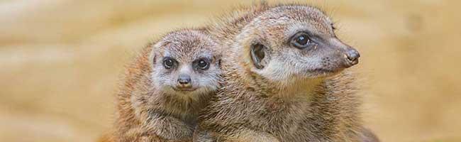 Die Erdmännchen-Familie im Zoo Dortmund wächst weiter: Zwei Jungtiere kamen dort bereits im August zur Welt