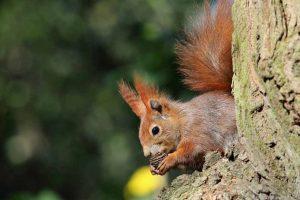 Eichhörnchen auf Futtersuche. Foto: Tine Meier