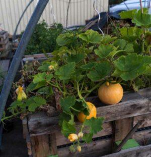 Die Hochbeete am Container-Dorf tragen bereits reichlich Ernte. Künftig sollen sie mit dem Regenwasser vom Nachbargebäude versorgt und gedüngt werden.