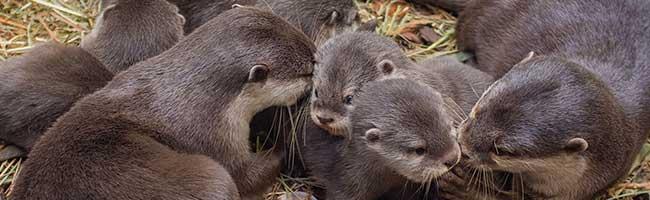 Niedlich hoch fünf: Zwergotter-Nachwuchs im Zoo Dortmund