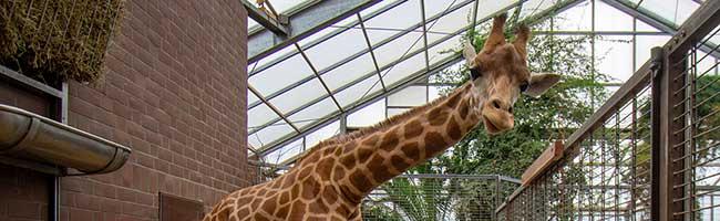 Giraffenbulle Zikomo hat wieder Gesellschaft: Nachwuchs Maoli aus Frankreich im Zoo Dortmund eingetroffen