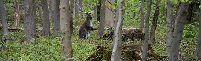 Tierischer Einsatz für die Feuerwehr Dortmund: Zwei ausgebüxte Kängurus im Grävingholzer Wald gefangen