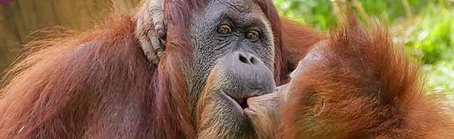 Trauer im Zoo Dortmund – Orang-Utan Toba ist gestorben