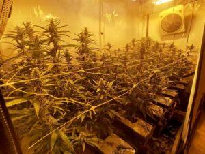 """Die Polizisten """"ernteten"""" rund 200 Marihuana-Pflanzen und stellten diese sicher."""
