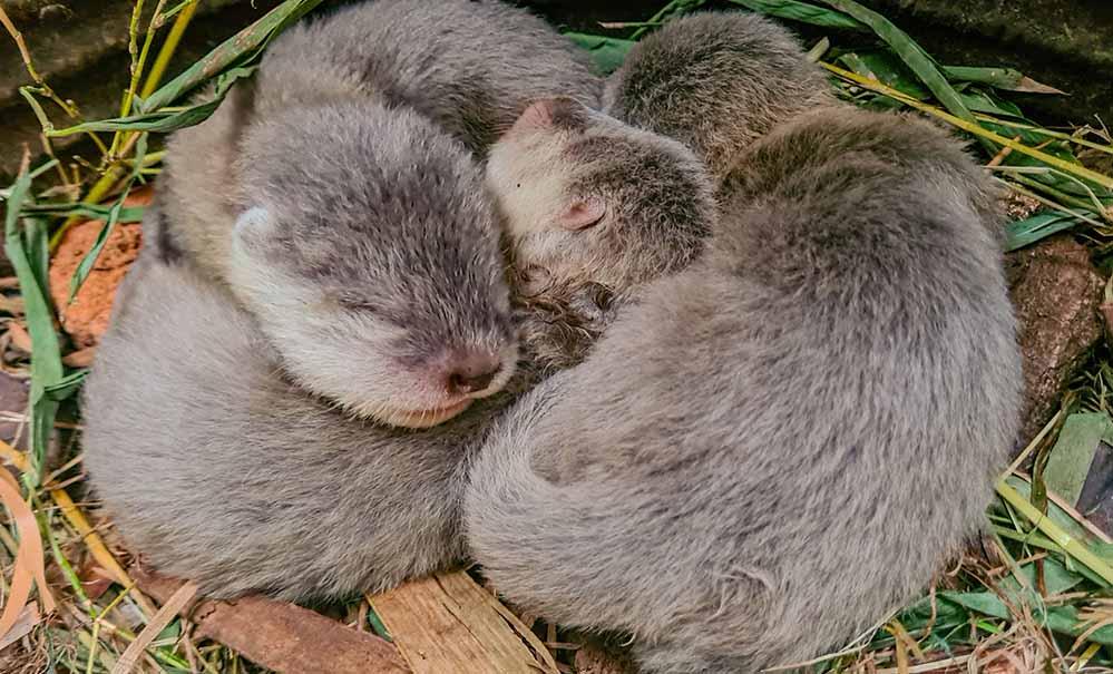Drei Zwergotter-Jungtiere im Nest. Das Foto entstand während der morgendlichen Nestkontrolle. Foto: Stella Gehrmann